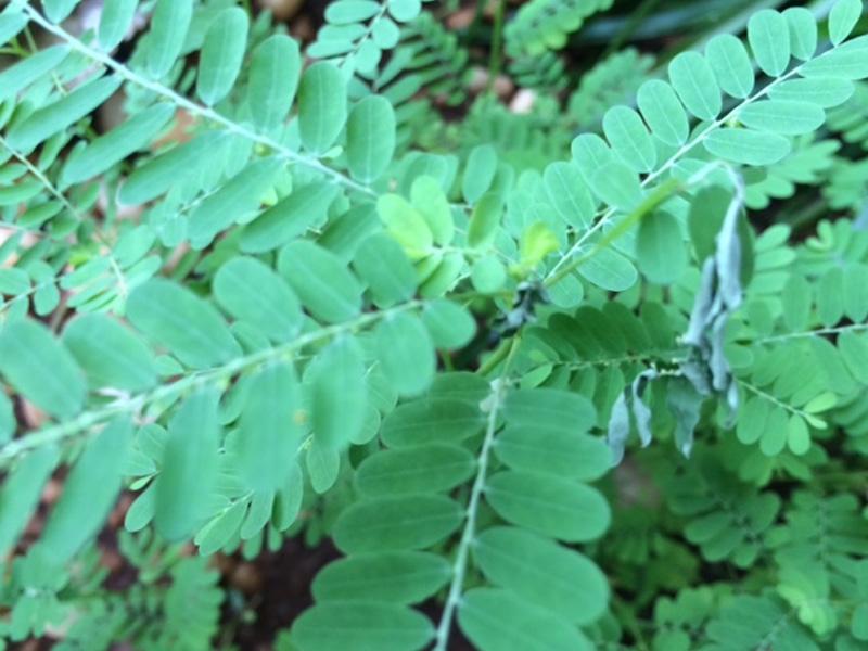 Phyllanthus-Niruri-plant