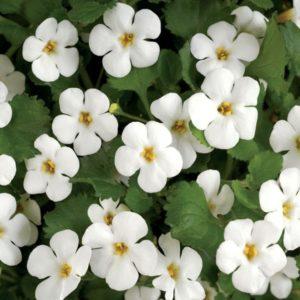 bacopa flowers bionut elixir