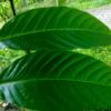 banaba leaves bionut elixir