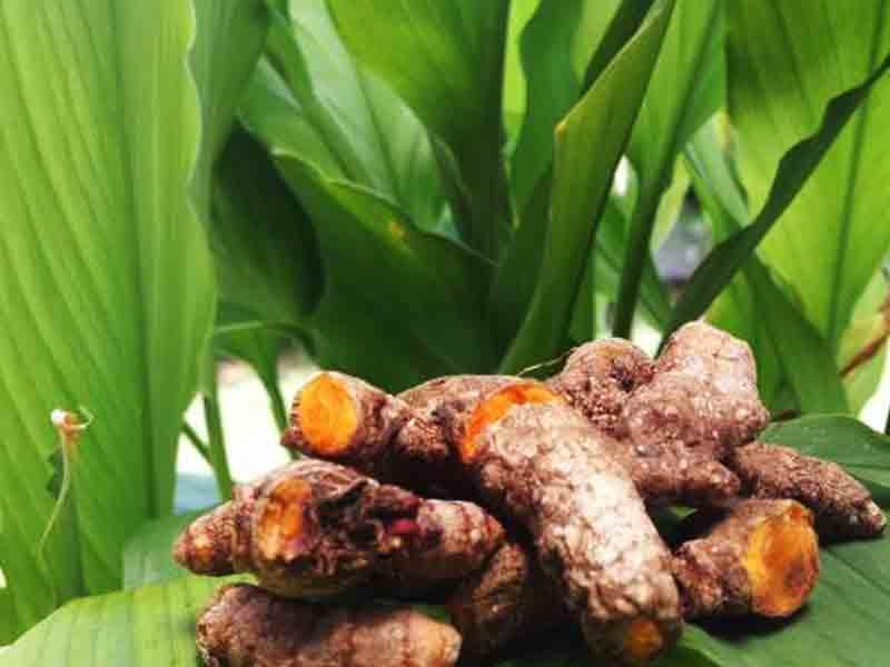 curcumin-plants-roots